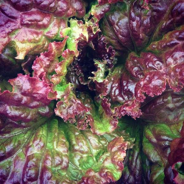cu-purple-lettuce