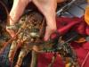 CU-lobster